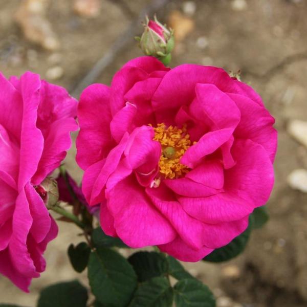 Shrub Rose Rosa Gallica Offic
