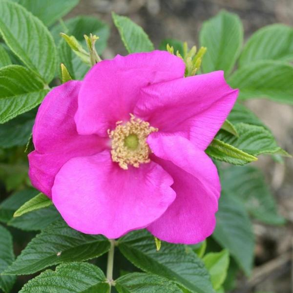 Shrub Rose Rosa Scabrosa