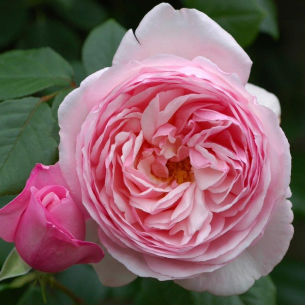 St Ethelburga Rose