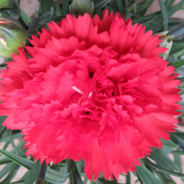 Dianthus Orange Bling Bling