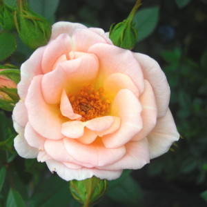 Rose Evening Light
