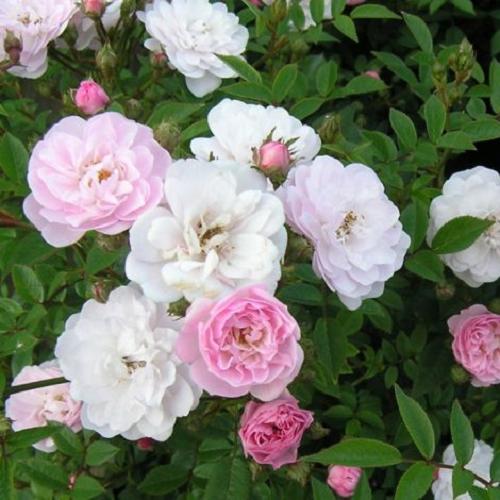 Rose Little Rambler