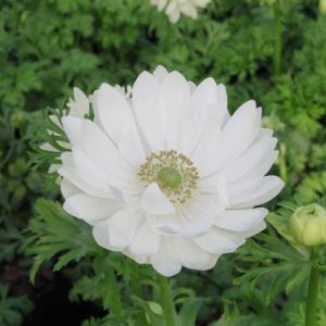 Anemone Pulsatilla White