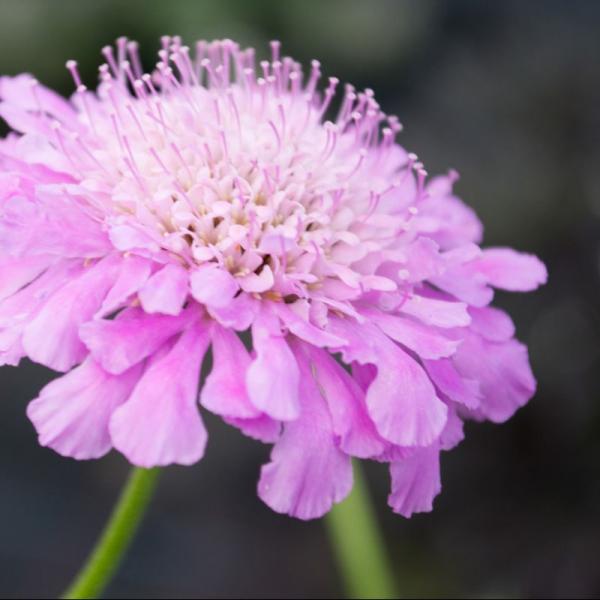 Scabiosa Columbaria Pincushion Pink