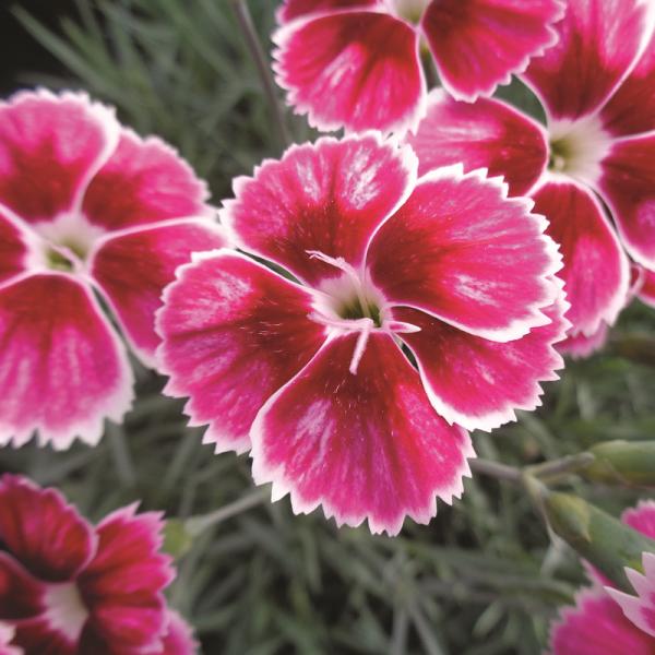 Dianthus Flutterby
