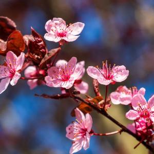 Ornamental Prunus Cerasifera Nigra