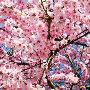 Ornamental Prunus Princess