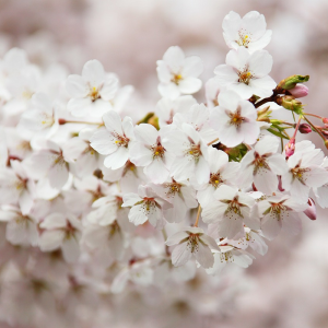 Ornamental Prunus Snow Showers