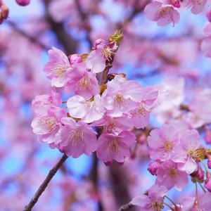 Ornamental Prunus X Blireana