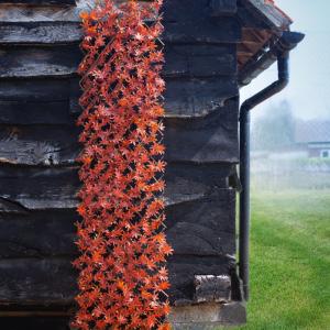 Red Acer Leaf Trellis