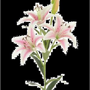 Tiger Lily Pink 82cm