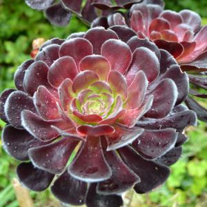 Aeonium arborescens Tip Top