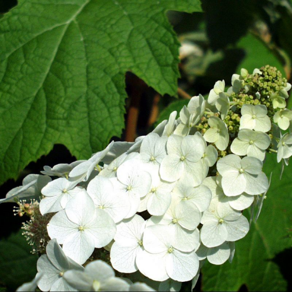 Hydrangea macrophylla Snow ( White mop)