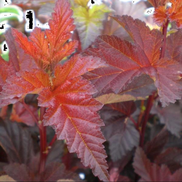 Physocarpus opulifolius Lady in Red
