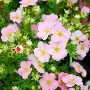 Potentilla Lovely Pink