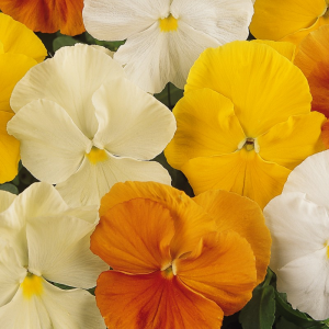 Pansy Citrus Mixed 24 Pack