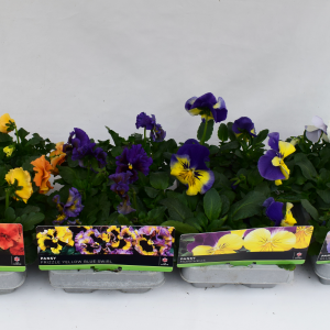 Pansy White 6 Pack