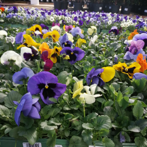 Pansy Spring Select 24 Pack