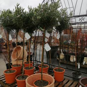 Standard Olive Tree 140-160cm