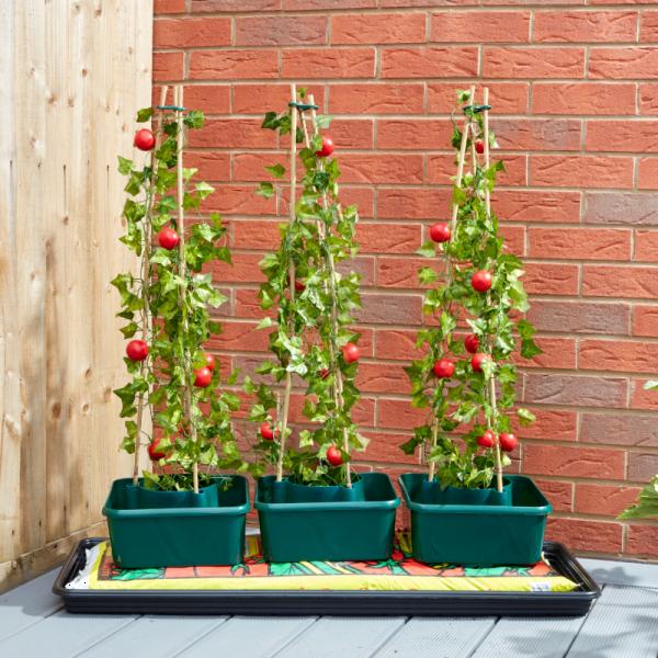 Tomato Gro-Box Triple Pack