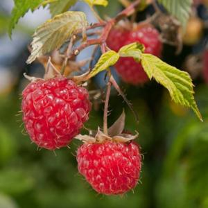 Raspberry Malling Jewel