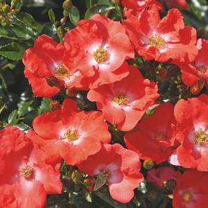 Flower Carpet Rose - Sunset