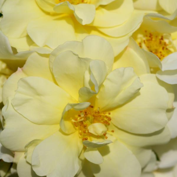 Flower Carpet Rose - Sunshine