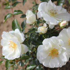 Flower Carpet Rose - White
