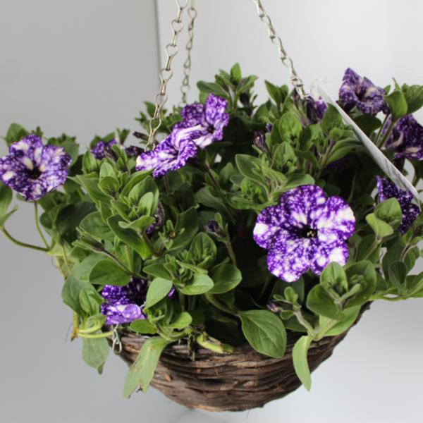 30cm Petunia 'Night Sky' hanging basket