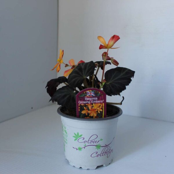 Begonia Glowing Embers 2 for £5