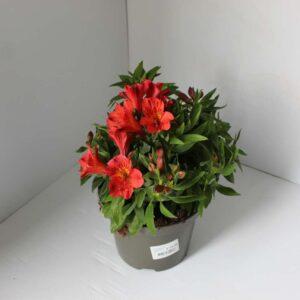 Alstroemeria Colorita Mix