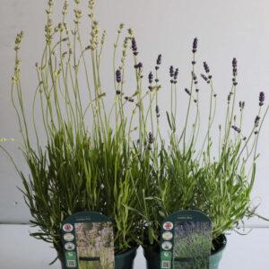 English Lavender - Loddon Blue or Loddon Pink