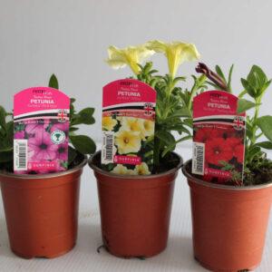 Trailing Petunias Assorted