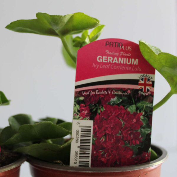 Ivy Leaf Geraniums Assorted
