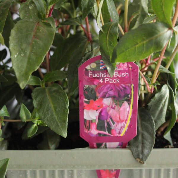 Fuchsia 4 pack - upright and trailing
