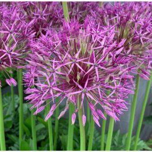 Allium Purple Rain 10 Bulbs