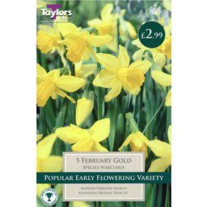 Narcissus February Gold 5 Bulbs
