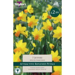 Narcissus Jetfire 7 Bulbs
