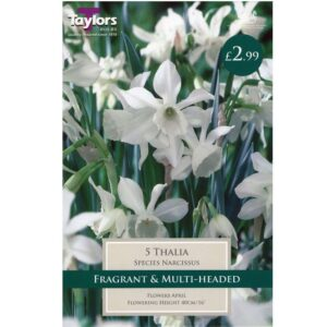 Narcissus Thalia 5 Bulbs