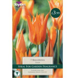 Tulip Ballerina 7 Bulbs