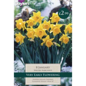 Narcissus January 8 Bulbs