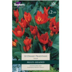 Tulip Dwarf Praestans 10 Bulbs