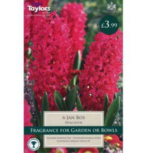 Hyacinth Jan Bos 6 Bulbs