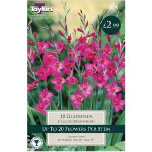Gladiolus Italicus 10 Bulbs