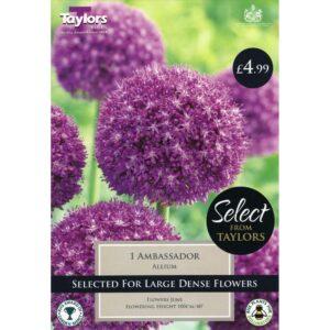 Allium Ambassador 1 Bulb