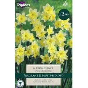 Narcissus Prom Dance 6 Bulbs