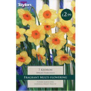 Narcissus Kedron 7 Bulbs