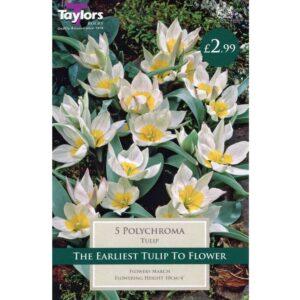 Tulip Polychroma 5 Bulbs