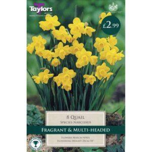 Narcissus Quail 8 Bulbs