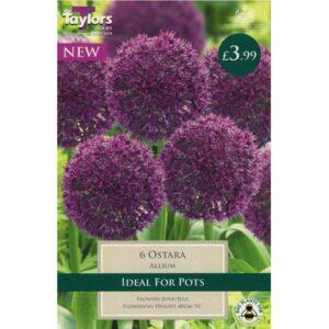 Allium Ostara 6 Bulbs